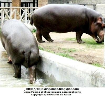 Foto de hipopótamos saliendo de su baño en el Parque de las Leyendas. Foto de hipopótamos de Jesus Gómez