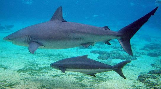 Tubarão Gália Preta (Carcharhinus brevipinna)