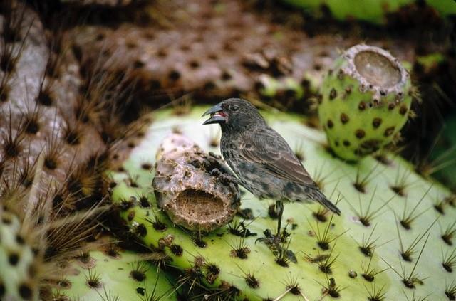 How gene flow between species influences the evolution of Darwin's finches