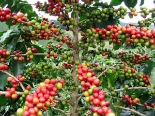 Coffe plantation located on kali klatak village