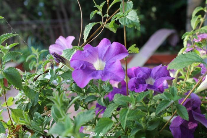 Petunias en Il Monticello