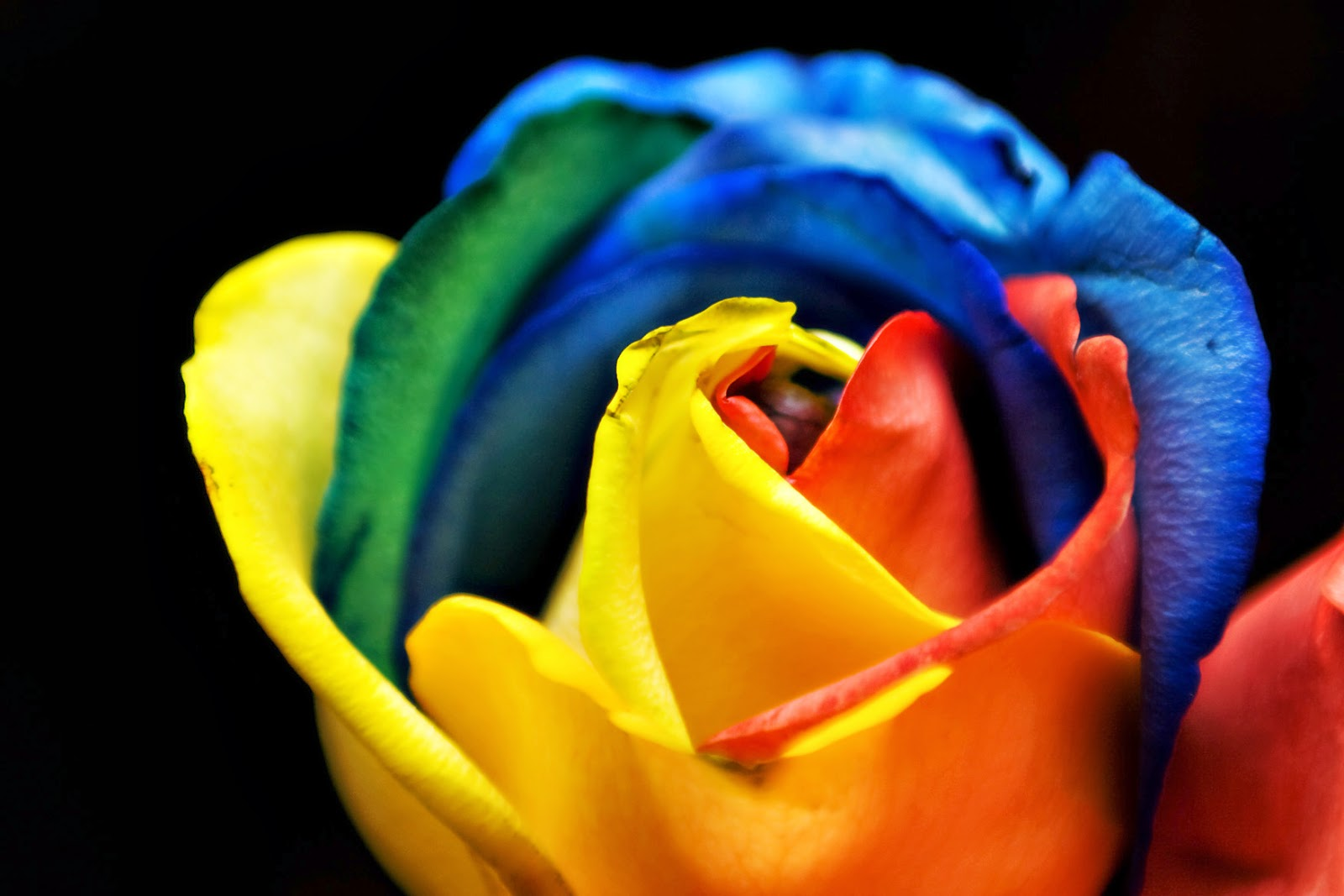 WHAT IS A RAINBOW ROSE?  The Garden of Eaden