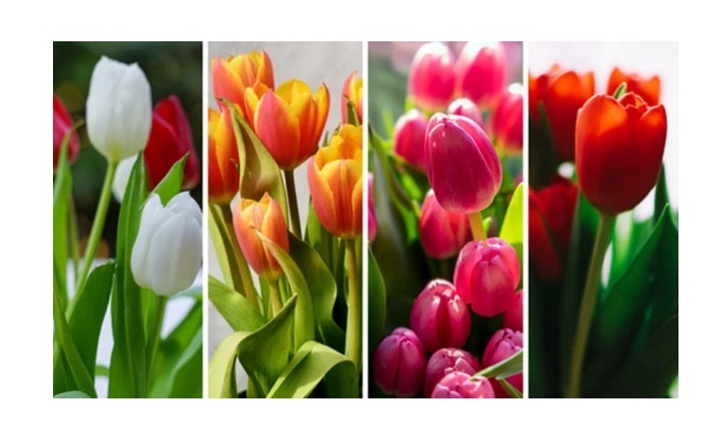 cvijeće-tulipan-test