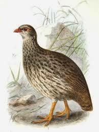 Francolín escamoso: Pternistis squamatus