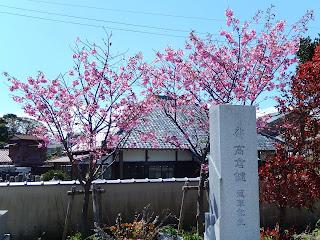 高倉健さん墓碑と寒緋桜