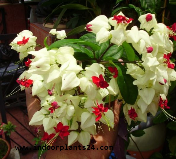 Clerodendrum Thomsoniae indoor house plant photo