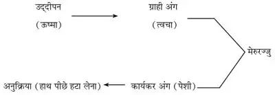 10 Class Science Notes in hindi chapter 7 Control and Coordination