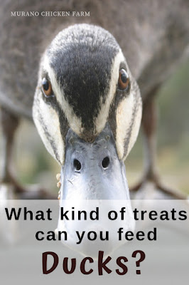 Treats for ducks.