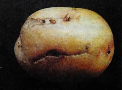 Penggerek ubi