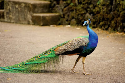 about-peacock-in-hindi-5-10-points (1)
