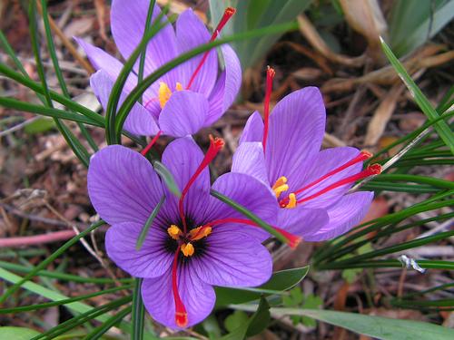 Fiori piante e giardini del mondo zafferano ottimo anche for Piante e giardini