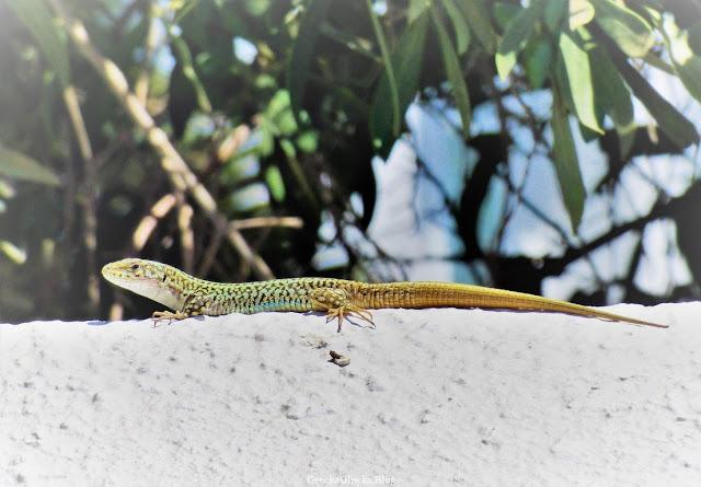 kolorowa jaszczurka na białm murku w tle zielone liście Mykonos Grecja