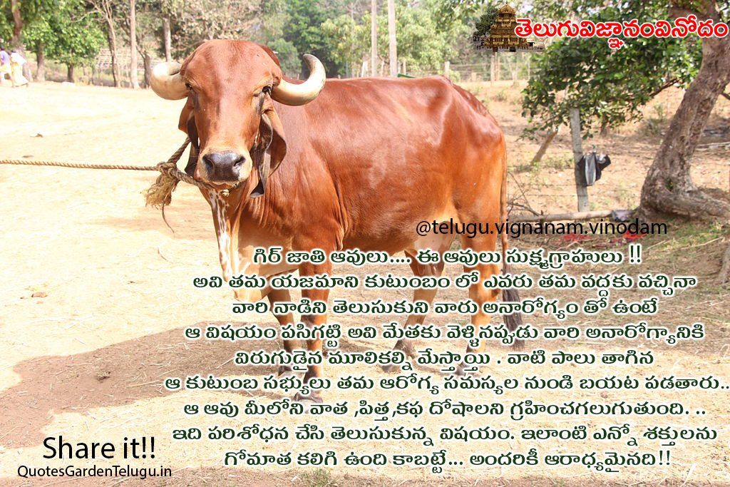 Greatness of Gomata information in telugu - Gyr Cow greatness and information in telugu