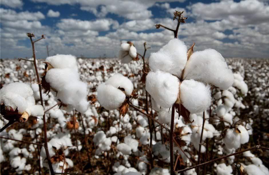 Προβληματισμός στους βαμβακοπαραγωγούς της Θεσσαλίας μετά την ολοκλήρωση της σποράς