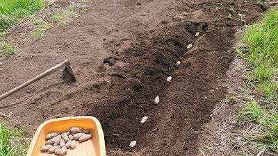 赤紫色キクイモの植え付け