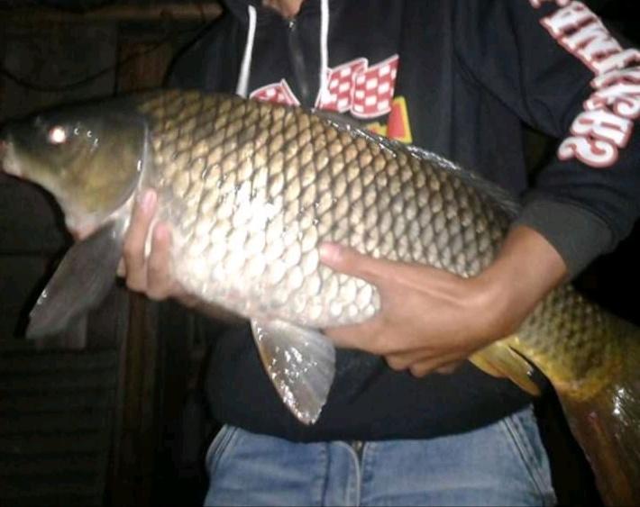 Umpan Untuk Ikan Mas Kolam Harian Siang dan Malam