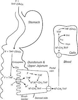Intestinal absorption of dietary folates