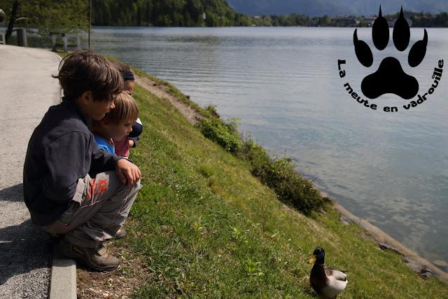 louveteaux-canards-lac-bled-slovenie