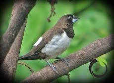 Mengenali hama burung pipit (manuk piit)