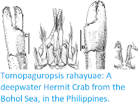 https://sciencythoughts.blogspot.com/2017/06/tomopaguropsis-rahayuae-deepwater.html