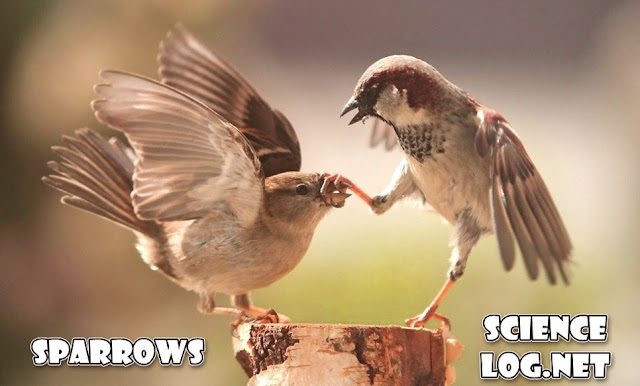 female and male sparrows