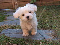 Cute White Maltese Dog puppy