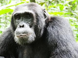 3 Days Chimpanzee Safari to Kibale National Park a world`s capital of primates