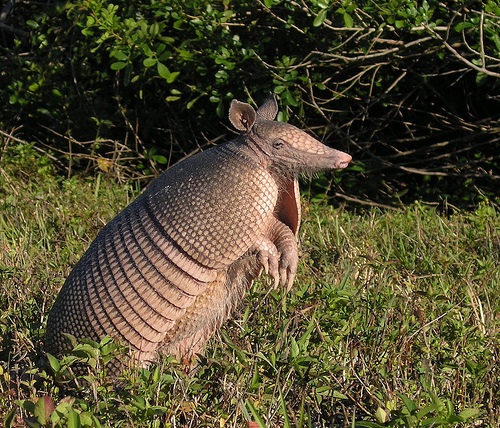 The Giant Armadillo  Priodontes maximus   colloquially Tatou  Ocarro    Giant Armadillo