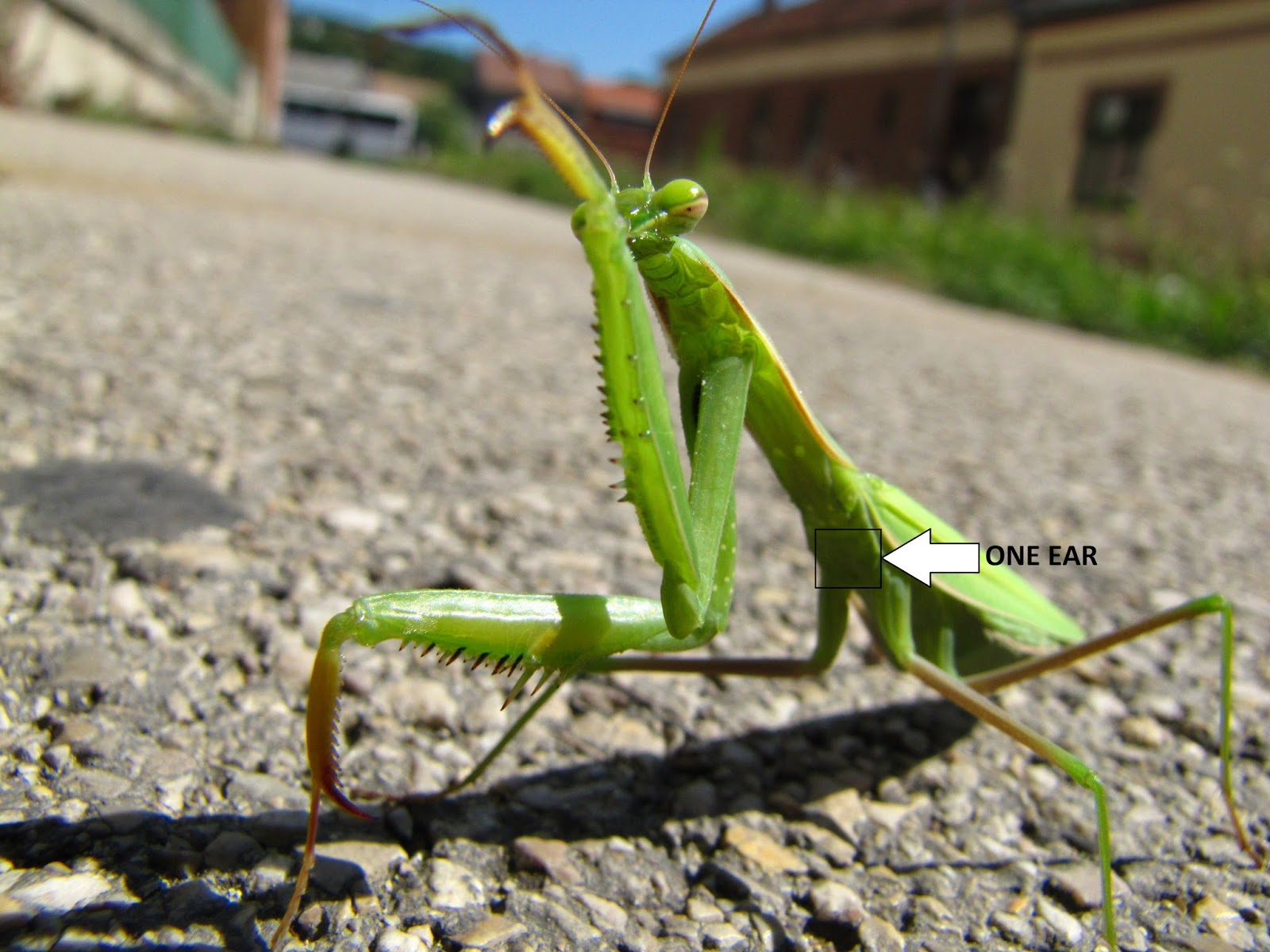 Picture of the one ear of a pray mantis.
