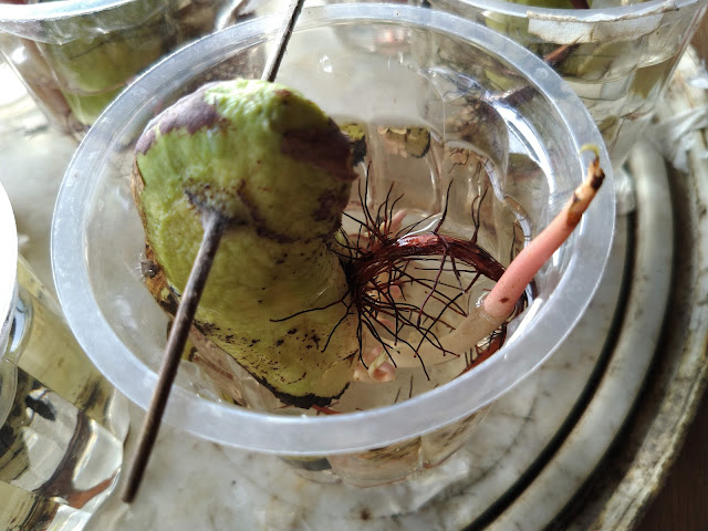 Germinated Mango Seeds in Water Demonstration