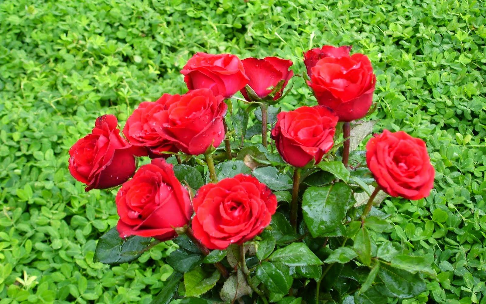 20 Gambar Foto Bunga Mawar Merah Sealkazz Blog