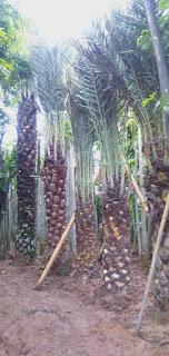 Harga jual palm kurma di jakarta