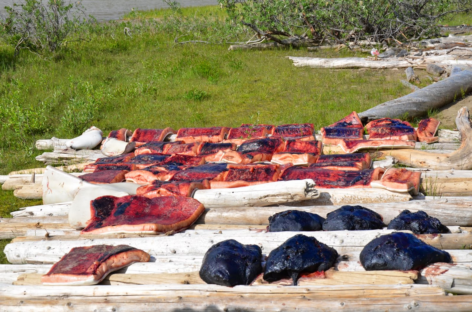 Muktuk and whale meat drying.