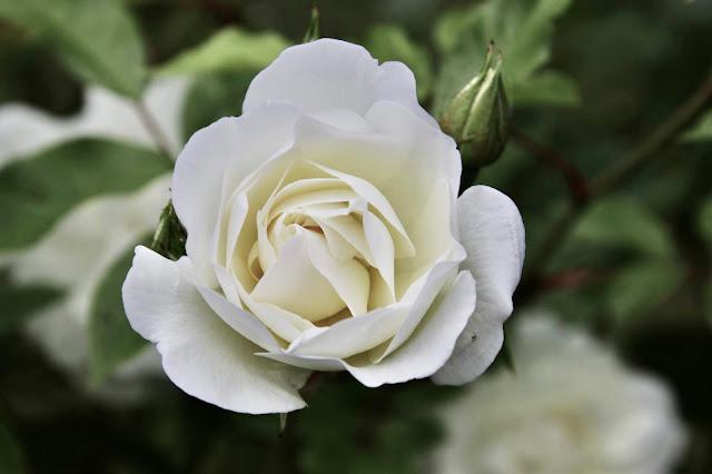 ,Valkoiset ruusut ovat todella kauniita