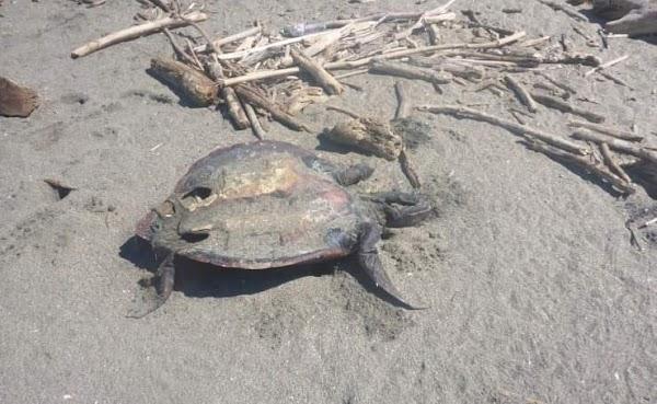 """FOTOS: Encuentran tortugas y peces muertos en """"mancha acuática"""" en el pacífico de Nicaragua."""