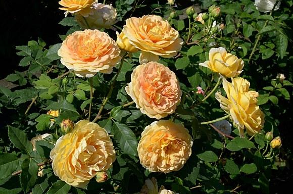 Golden Celebration сорт розы Остин фото купить саженцы в Минске питомник