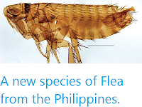 https://sciencythoughts.blogspot.com/2013/04/a-new-species-of-flea-from-philippines.html
