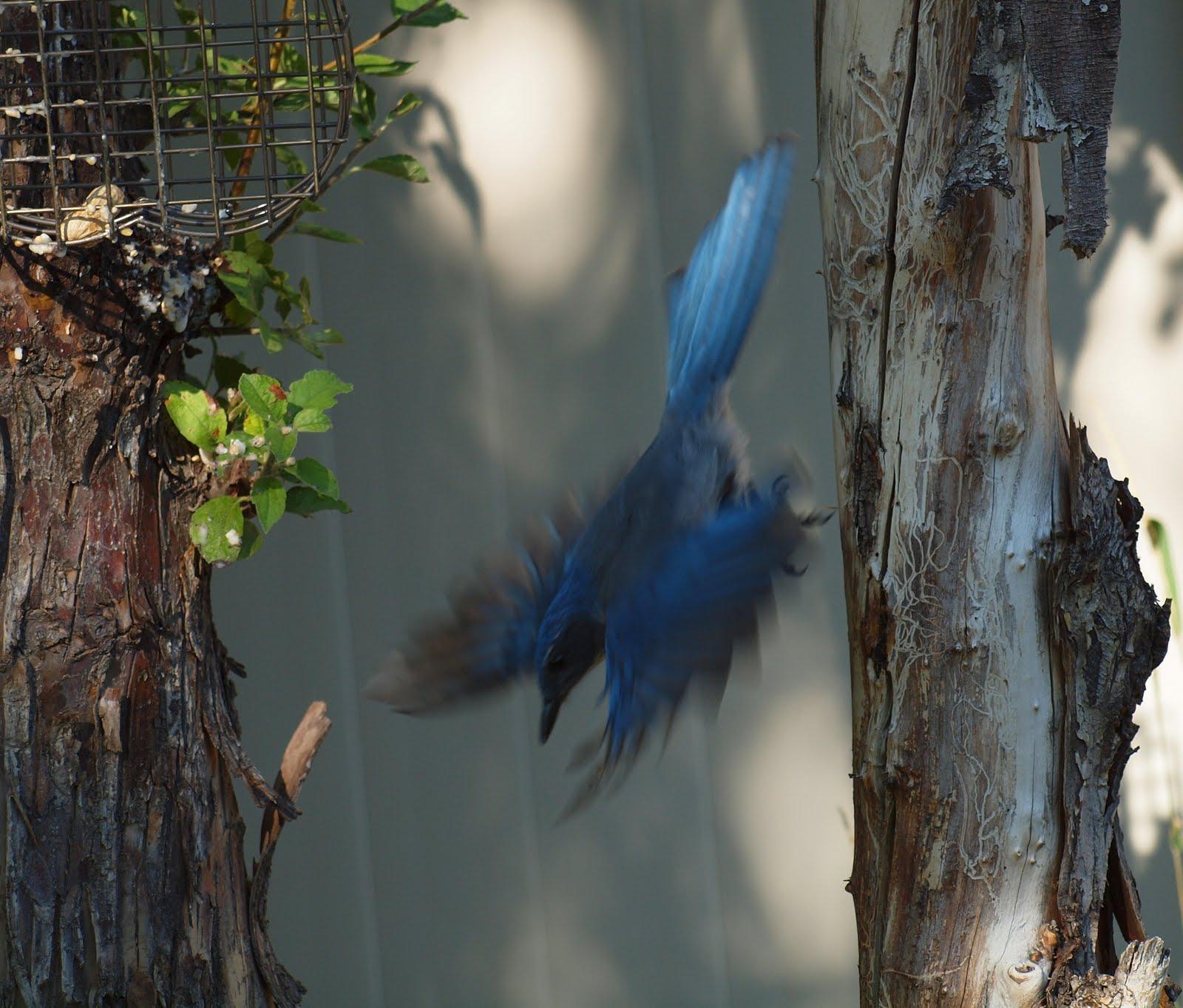 Birding Is Fun Backyard Scrubbies And Peanuts