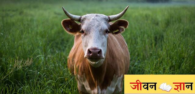 कोई गाय को भी तो बता दो कि चुनाव आ गए हैं By Kuldeep Tripathi