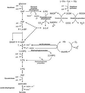 Metabolism of glucose in erythrocytes