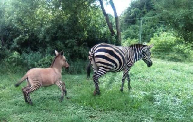 Романтическая история дружбы дикой зебры с фермерским осликом