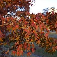 打上川治水緑地 モミジの紅葉