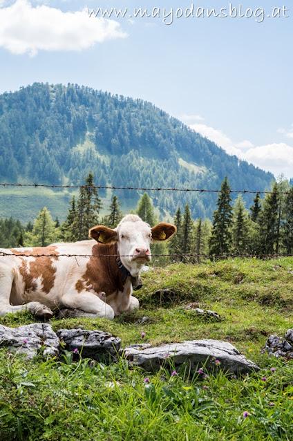 liegende Kuh auf der Alm