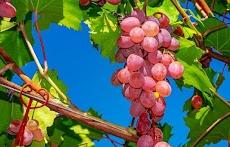 Kumpulan Judul Jurnal Penanganan Pasca Panen Anggur
