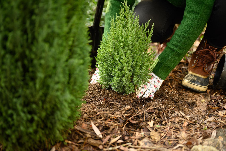 Havupuun istuttaminen