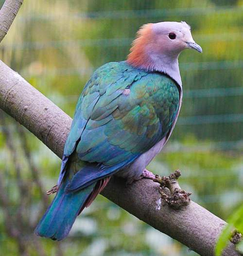 Birds of India - Photo of Green imperial pigeon - Ducula aenea