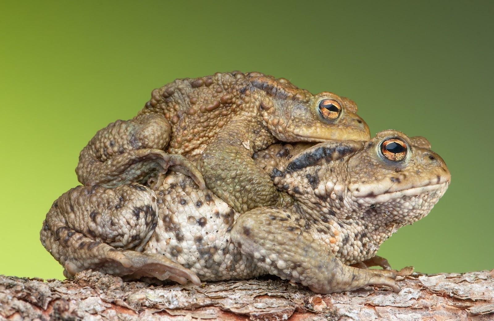 Amphibians: Amplexus Bufo bufo