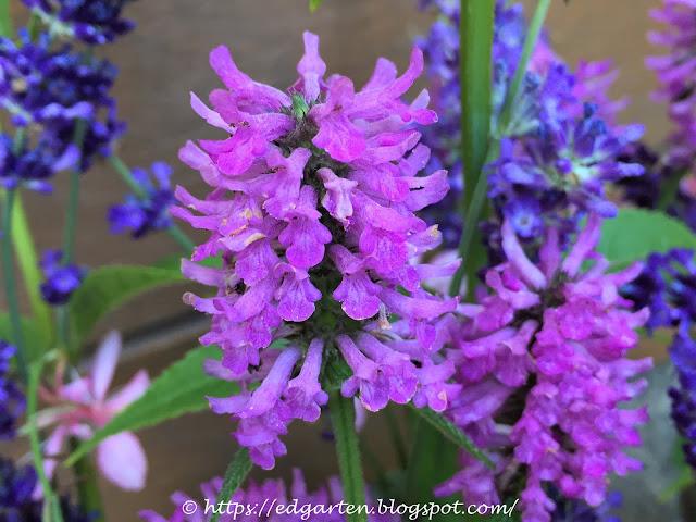 Blühender Ziest