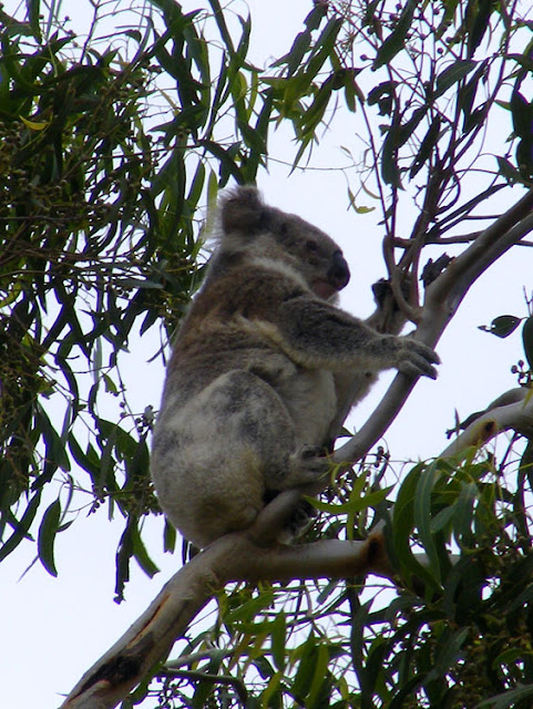 Koala in a Eucalypt tree in a paddock on the outskirts of Pittsworth, Queensland, Australia. Photographed by Susan Walter. Tour the Loire Valley with a classic car and a private guide.