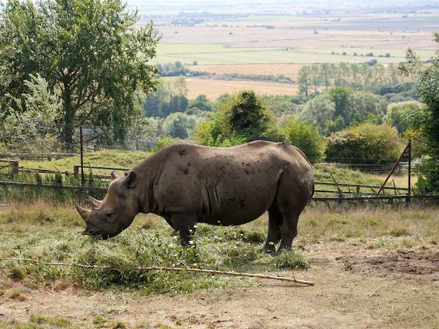 Port Lympne black rhino